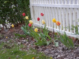 Tulips have sprung up in our side yards, making the yard colorfully festive!